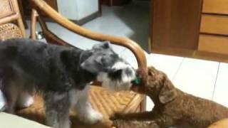Schnauzer & Poodle Fight