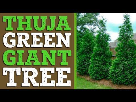 Thuja Green Giant Privacy Screen Plantingtree Com