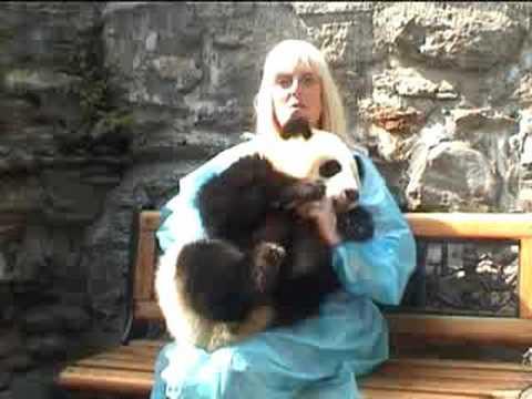 BABY PANDA AT WOLONG NATURE RESERVE CHINA