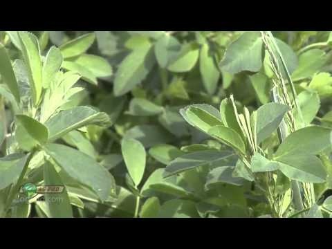 Making Your Alfalfa Better Air Date