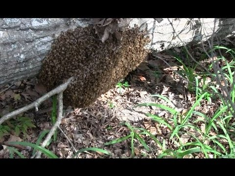 Honeybee SWARM Study - Beekeeping with SoMDBeekeeper Part 2
