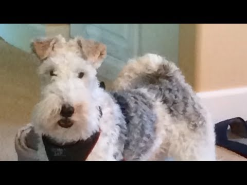 Wire Fox Terrier Roy's Tricks