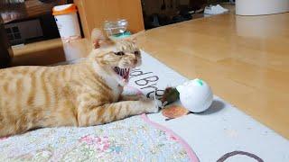 새 장난감만 보면 맹수가 되는 고양이