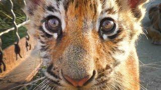 Как сорока Фросиных тигрят дразнила. Тайган | Magpie teases tiger cubs. Taigan