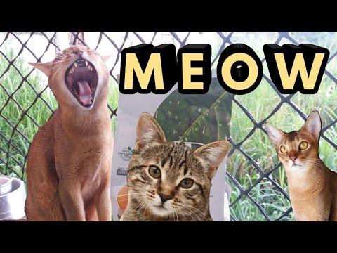 My Abyssinian Cat Meow💖 || Gatinhos miando😍