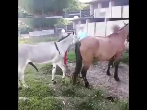 Download Donkey Mating Horse First Time Try 2019 - Horse Breeding - Animals Mating