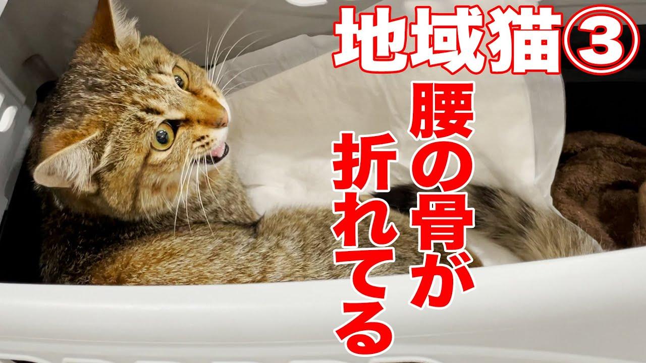 【一体何が?】腰を骨折した地域猫③:445