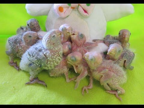 2-3 Week old Baby Green Cheek Conure Parrots