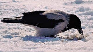 Самые умные птицы вороны строят гнездо