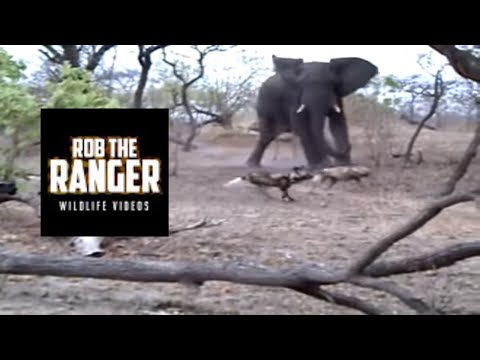 African Painted Dogs Chased By An Elephant!! | Adventures In Africa