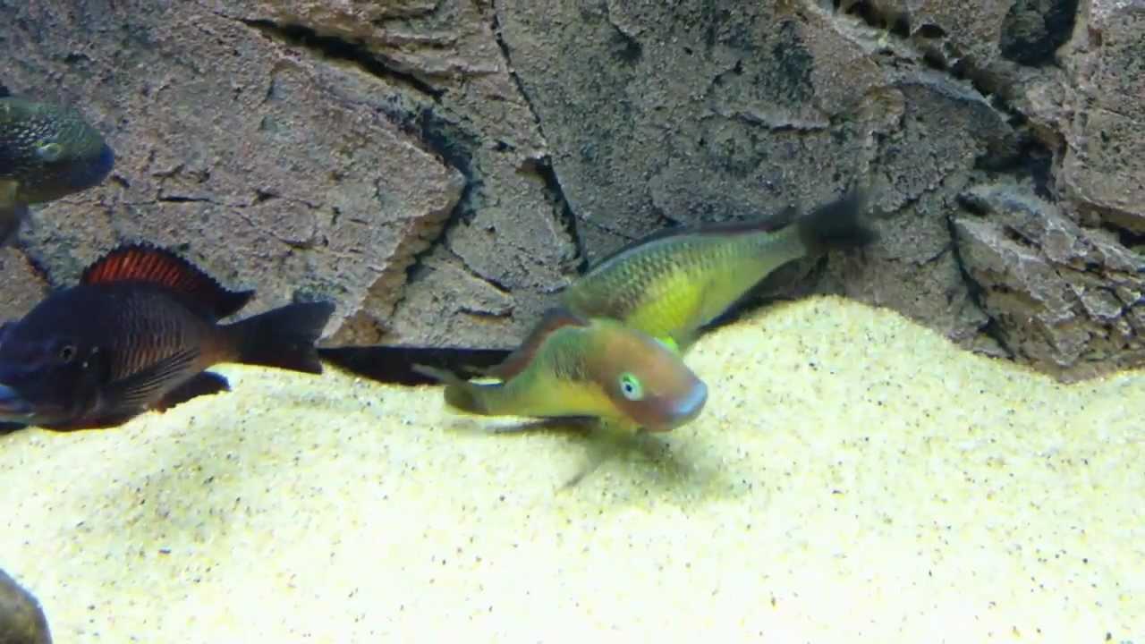 Tropheus Moorii Red Rainbow Kasanga F1 Pisces Il במזל דגים