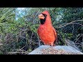 Northern Cardinal Singing And Defending Territory mp3