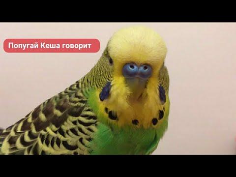 Волнистый попугай Кеша❤Любит Зеркало🐦✅
