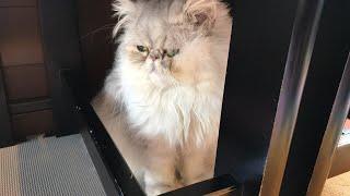 ペルシャ猫ももちゃんおっとり編 thumbnail