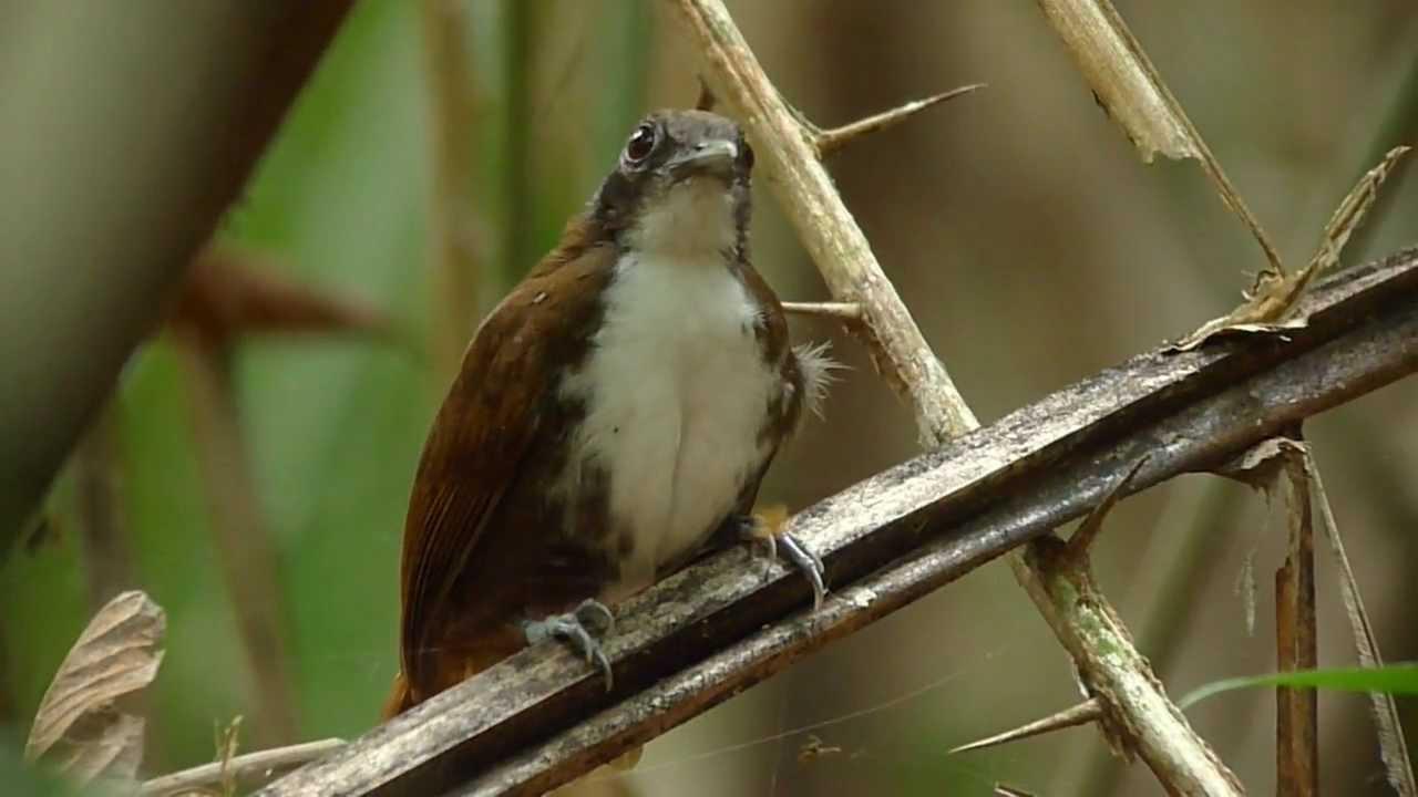 Antbird | The WordWorld Wiki | FANDOM powered by Wikia