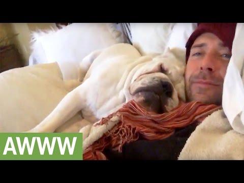 Snoring English Bulldog absolutely refuses to wake up