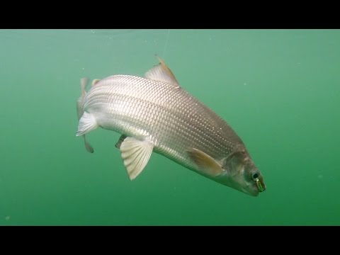 Fishing for Lake Whitefish in Washington
