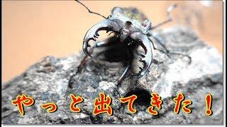 ミヤマクワガタがやっと羽化しました!その他にも【昆虫ショップ・昆虫...