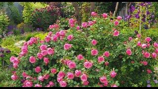 09.06.21. Обзор моих роз. Как выбрать розу. Розы и дождь. В описании под видео названия всех роз.