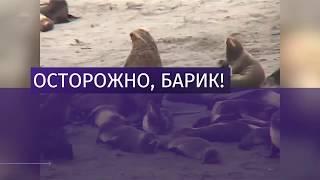 Морской котик по кличке Барик задержал пьяного нарушителя в Петербурге