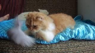 котята манчкин  белый и красный с белым окрасов