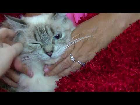 2 year old lynx colorpoint female for a Ragdoll pet $600 Aug 5, 2018 ARagdollToLove