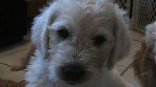 Puppy Lab Poodle Mix -labradoodles Puppy Wave