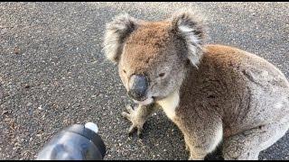 Koala Meets Cyclist Sydney Australia