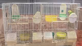 How To Breed Budgies/Parakeets(Волнистых попугаев)