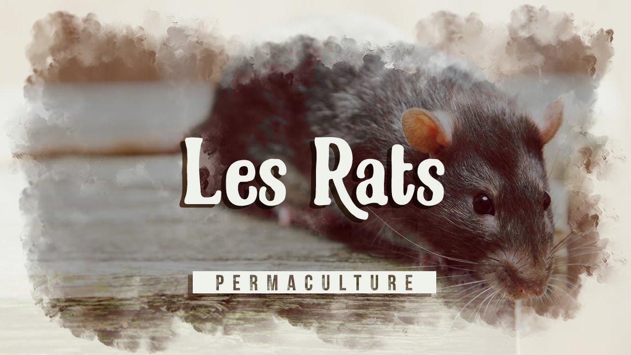 Comment Se Debarrasser Des Rats Au Jardin Dans La Maison Etc Youtube