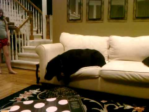Luke Get Off The Couch Black Lab On White Couch Too