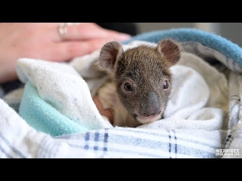 Pet Central - ORPHANED BABY KOALA GETS TINY ARM CAST AFTER FALLING FROM TREE
