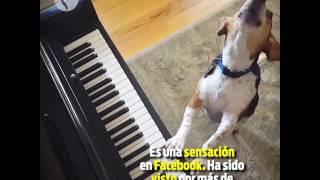 Este perrito se llama Buddy Mercury. Canta y toca el piano