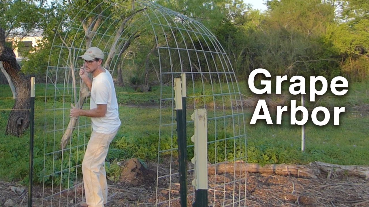 Building The Grape Arbor Trellis Cattle Panels And T