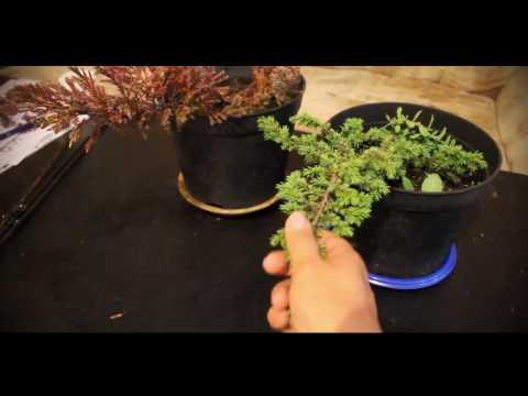 Можжевельник обыкновенный – описание, лечебные свойства