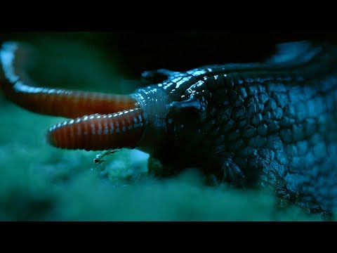 Rare Giant Snail Feasts On Earthworm - Wild New Zealand - BBC Earth