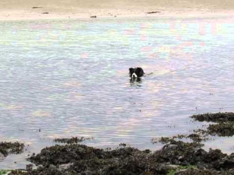 Ellie enjoying a swim at Gwbert 25.6.13