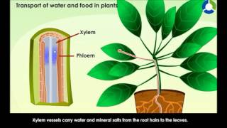 Transport of water and Food in Plants