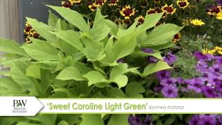 Sweet Caroline Light Green Ipomoea--A P Allen Smith Favorite!
