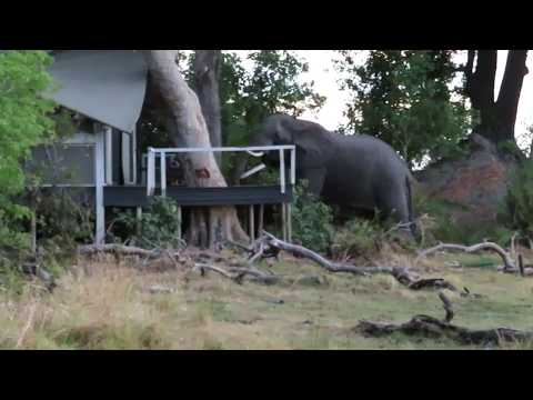 Abu Camp WILD BULL Elephant at tent
