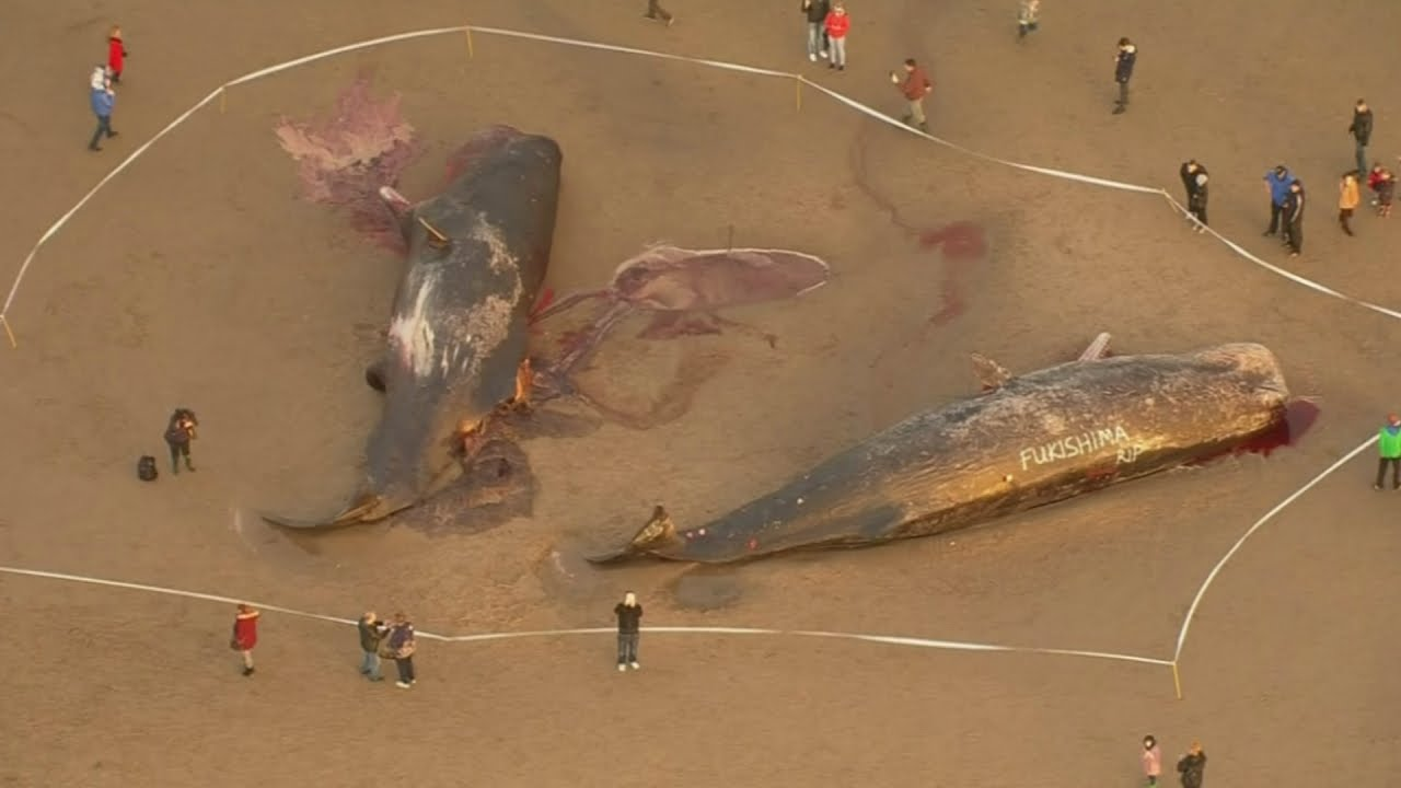 Dead sperm whale are not
