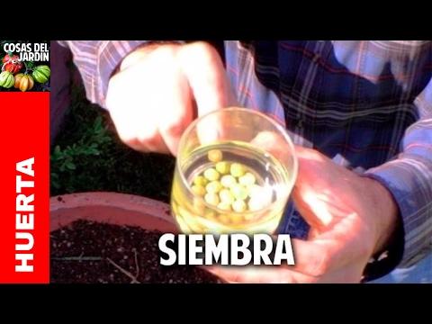Guía completa sobre el cultivo de arvejas, guisantes o chícharos - 1