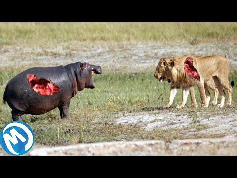 Los Batallas Más Extremas De Animales Salvajes