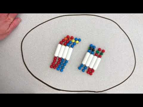 Meiosis Pop Beads