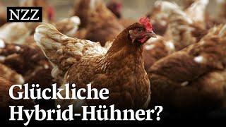 Das Schweizer Huhn - gezüchtet im Ausland | NZZ Reportage