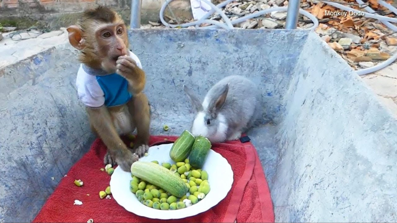 Monkey Baby Dodo And Rabbit Join Breakfast Together