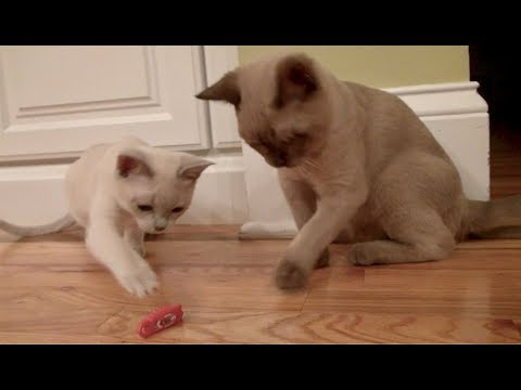 Burmese Kitten vs. HEX BUG! So cute!