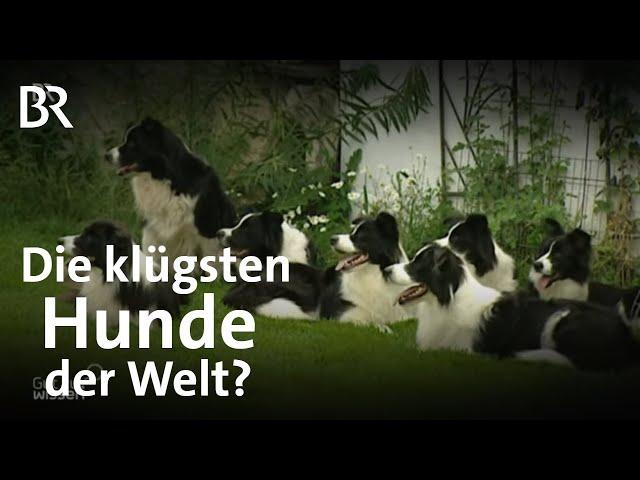 Hundetraining und -challenge: Sind Border Collies die klügsten Hunde der Welt? | Gut zu wissen | BR