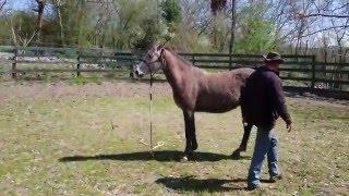 Atal cheval Arabe, début de travail sur l'immobilisation et la connexion