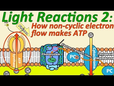 Photosynthesis, The Light Reactions, Part 2: How Non-cyclic Electron Flow Makes ATP,V2